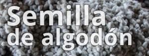 semilla-algodon